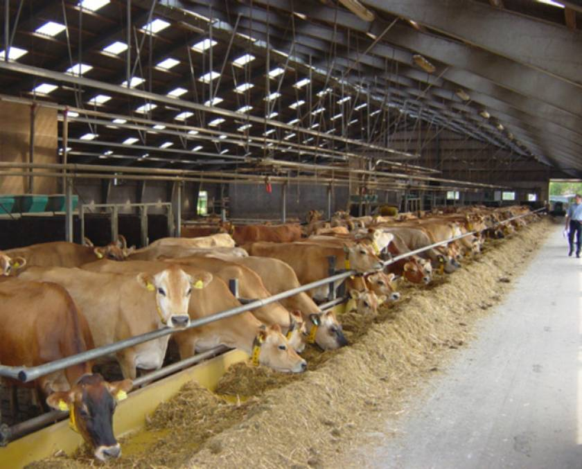 Danish Jersey Herd