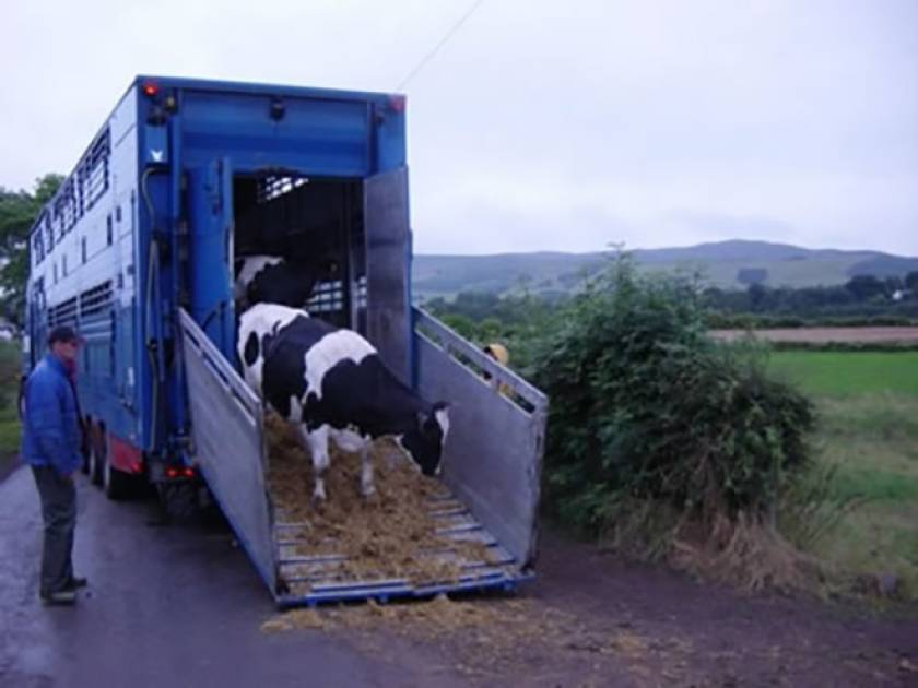 Unloading Danish Holsteins in the UK